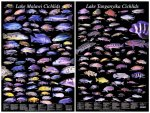 cichlid-species-chart-001.jpg