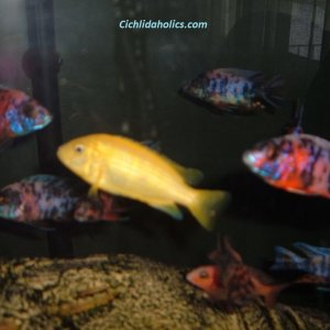 cichlids-125-gallon-001.JPG