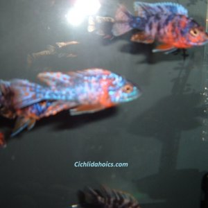 ob-peacock-cichlids-55-gallon-001.JPG