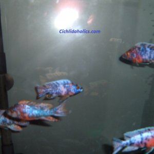 ob-peacock-cichlids-55-gallon-002.JPG
