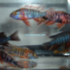 peacock-cichlids-small.JPG