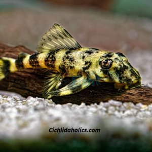 clown-pleco.jpg