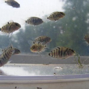 black-convict-cichlids-002.jpg