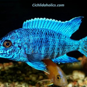 electric-bue-peacock-cichlid.jpg