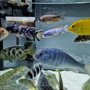 assorted-malawi-cichlids.jpg