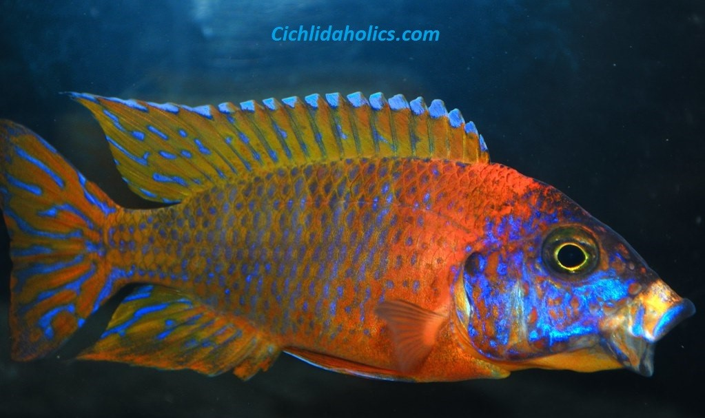 ruby-red-peacock-cichlid.jpg