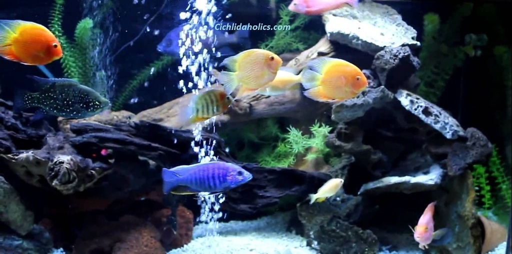 tropical-cichlid-pictures.jpg